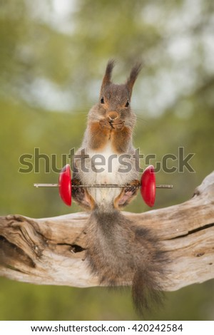 red squirrel standing on tree trunk and weight object  - stock photo