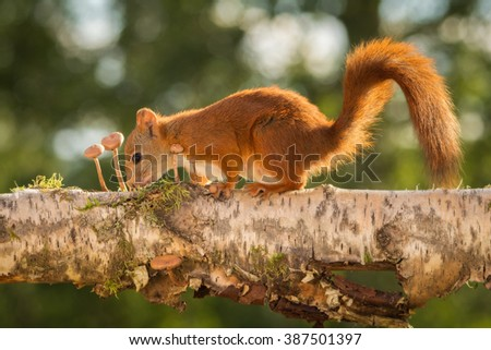 red squirrels standing on tree with mushrooms