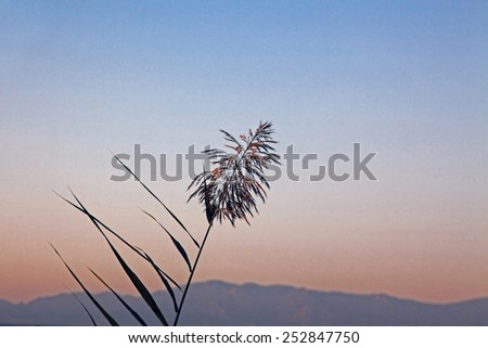 reed on the background of the sunset sky - stock photo