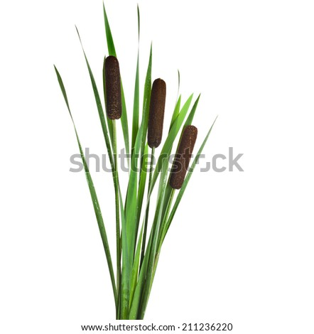 Reeds and cattail plant Isolated on white background - stock photo