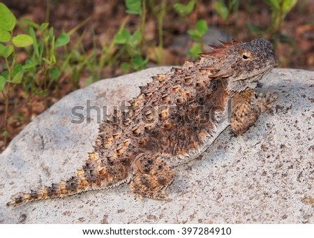 Regal Horned Lizard, Phyrnosoma solare, showing its impressive horns