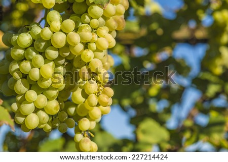 ?rganic grapes - stock photo