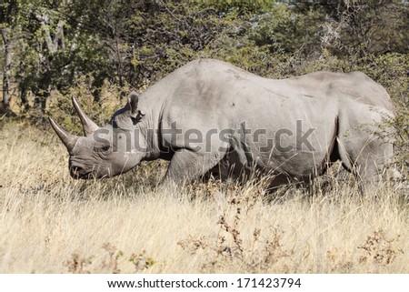 rhinoceros in the bush, Etosha, Namibia, Africa - stock photo