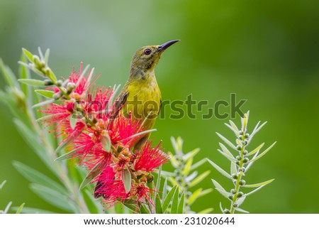 Right side of Plain Sunbird(Anthreptes simplex) with the flower in nature at Keangkrajarn National Park, Thailand  - stock photo