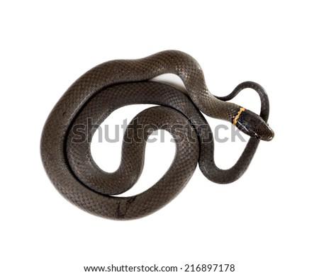 Ringneck Snake  (Diadophis punctatus Arnyi) isolated on white background. top view - stock photo