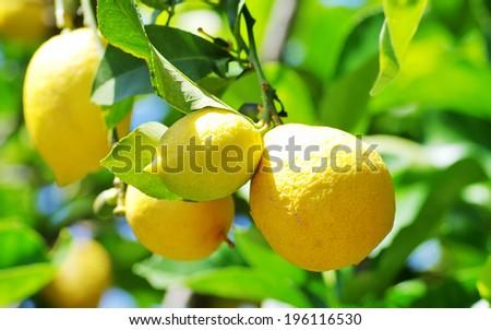 ripe lemons hanging on a tree  - stock photo