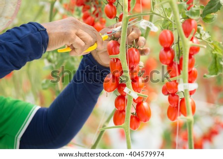 Ripe natural tomatoes growing on a branch in a greenhouse