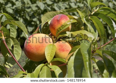Ripe peach fruits growing on a peach tree branch. Selective focus with shallow depth of field. - stock photo