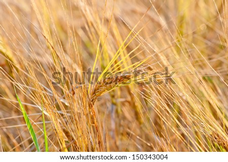 ripe wheat ears close-up in a yellow box