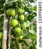 ripening green tomatoes. - stock photo