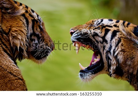 Roaring tiger with bare teeth - stock photo