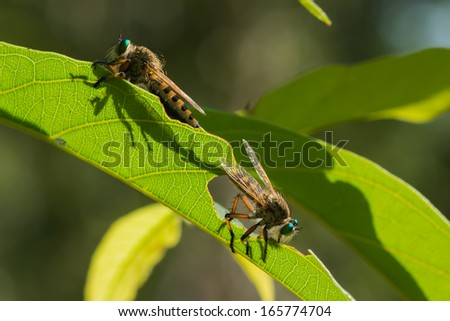 2 Robber Flies (promachus sp) silhouetted through a leaf while mating