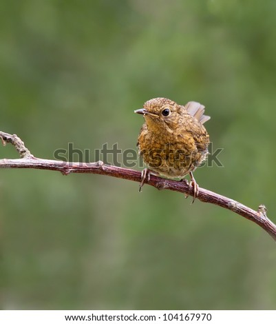 Robin, Fledgling (Erithacus rubecula) sitting on a branch - stock photo