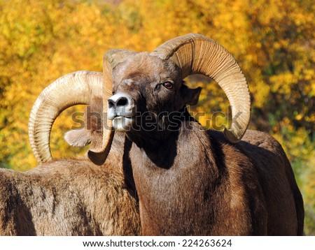rocky mountain   big horn sheep in waterton canyon, littleton,  colorado    - stock photo