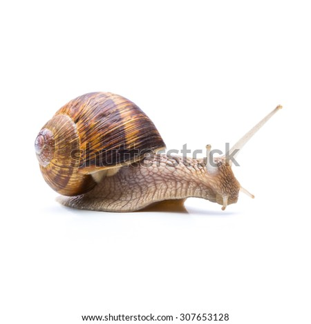roman snail is searching something isolated on white - stock photo