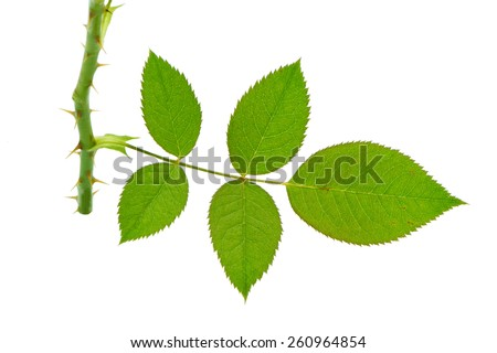 (Rosa chinensis Jacq.), leaf form and texture - stock photo
