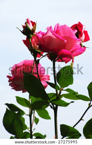 Roses for wallpaper, postcard and  another different uses - stock photo