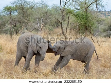 """Roughhousing"": Two baby elephants roughhousing and having a good time, Tarangire National Park, Manyara,  Tanzania, Africa - stock photo"