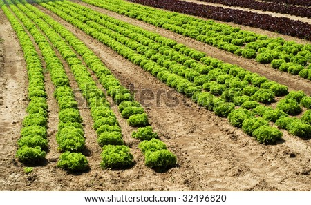 4 Rows of Lettuce green and red