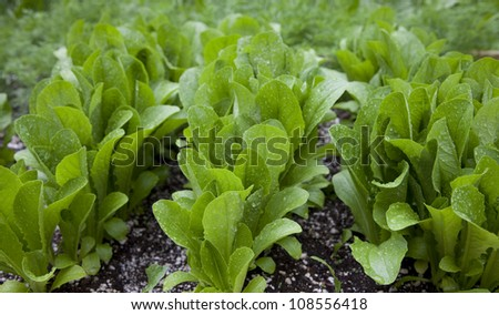 rows of romaine lettuce in the garden - stock photo