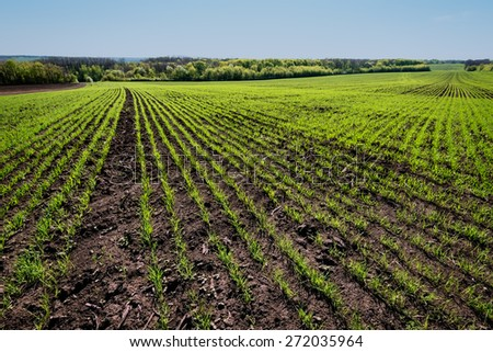 rows on young wheat field on sunny day in spring. - stock photo