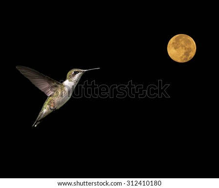 Ruby-throated Hummingbird Flying to the Moon on Black Background - stock photo