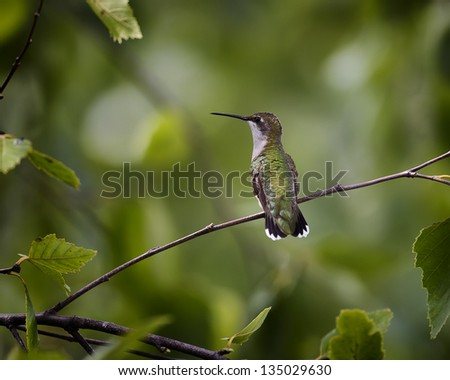 Ruby-throated Hummingbird perched on a tree branch. - stock photo