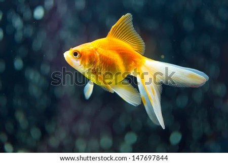 Ryukin Goldfish aka Carassius auratusb - stock photo