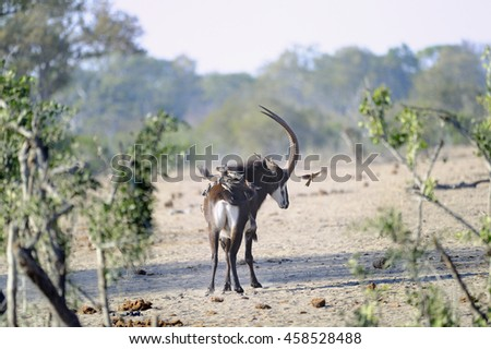 Sable Antelope ((Hippotragus niger). Of of the rarest and most imposing of the African antelopes. Young bull cautiously approaching a waterhole in the bush - stock photo