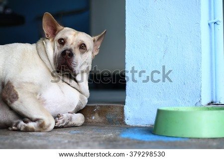 Sad dog in Thailand. Fat dog sleep in sadness and despair. .Sad dog because it's very fat, so the patient and disease.