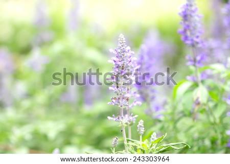 Sage plant (lat. Salvia Officinalis) in the garden , selective focus - stock photo