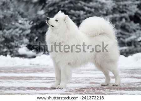 samoed dog  in the winter - stock photo