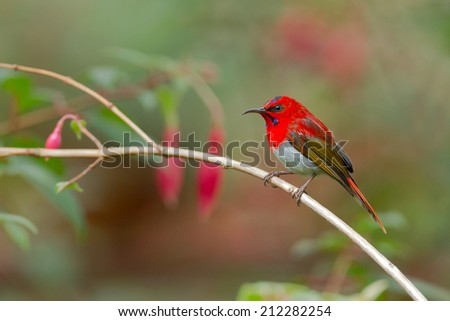 Scarlet Sunbird in a bout Kinabalu park,and Ha la ba la thailand ,Malaysia, - stock photo