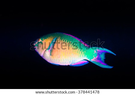 (Scarus ghobban), Blue-barred parrotfish, feeding in a shipwreck at night. reefs of the Sea of Cortez, Pacific ocean. Cabo Pulmo, Baja California Sur, Mexico. The world's aquarium. - stock photo