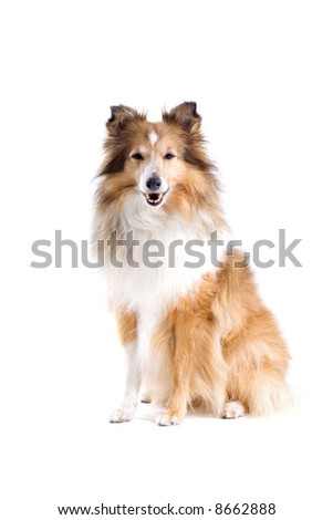 Scottish collie  dog isolated on a white background