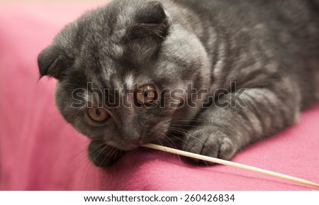 Scottish Fold kitten  gray-blue color plays with a straw. - stock photo