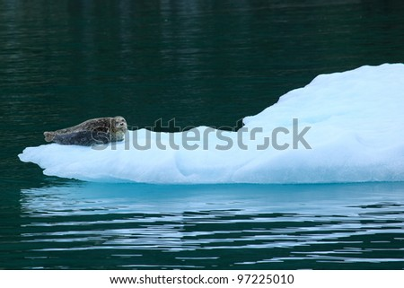 sea lions  sits on an iceberg - stock photo