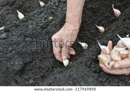 Senior woman planting garlic in the vegetable garden - stock photo