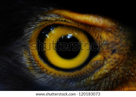 Serpent-Eagle close-up face.(Spilornis cheela)