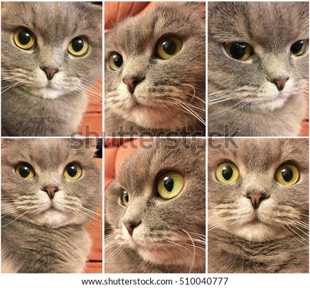 Set of funny cat face. Funny face of scottish fold cat with big orange eyes. Funny cat stickers.
