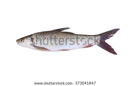 Seven-striped barb or Julian's golden carp is in the freshwater fish on white background and have clipping paths.