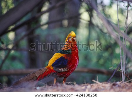 (SHALLOW DOF) a dometic golden pheasant in a local wildlife park that someone released into the wild - stock photo