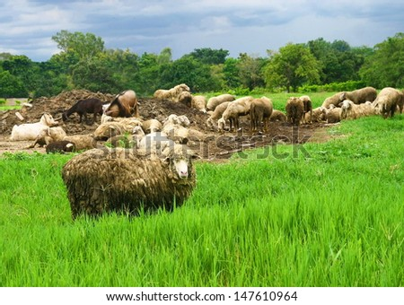 sheep group in greenfield - stock photo