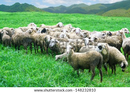 sheep in grass field - stock photo