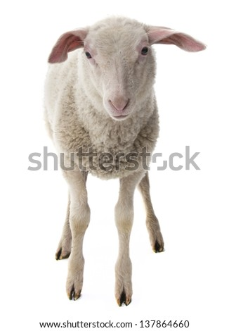 sheep isolated on a white background - stock photo