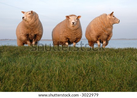 3 sheep standing in sunset on the dike