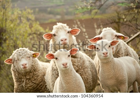 sheep within a mob turn to check out the photographer - stock photo
