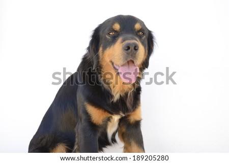 Shepherd puppy - stock photo