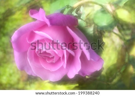 Shot with a lensbaby optic which which creates the soft ethereal glow and painterly effect but allows sufficient focus of the central rose petals.  - stock photo