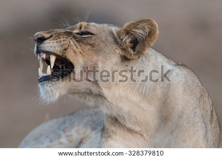 Show of teeth, Balule Reserve, South Africa. - stock photo